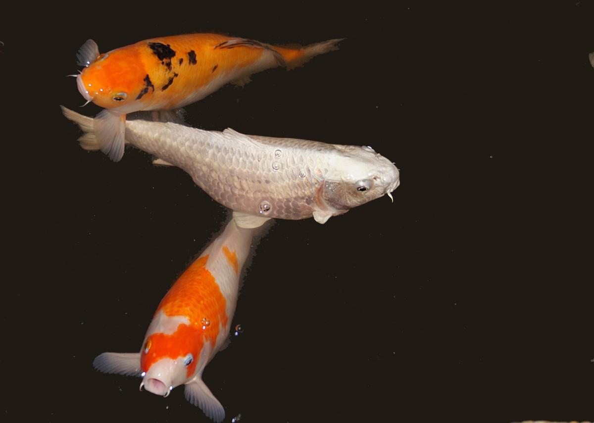 Free images orange autumn fish koicarp goldfish koi for Orange koi fish