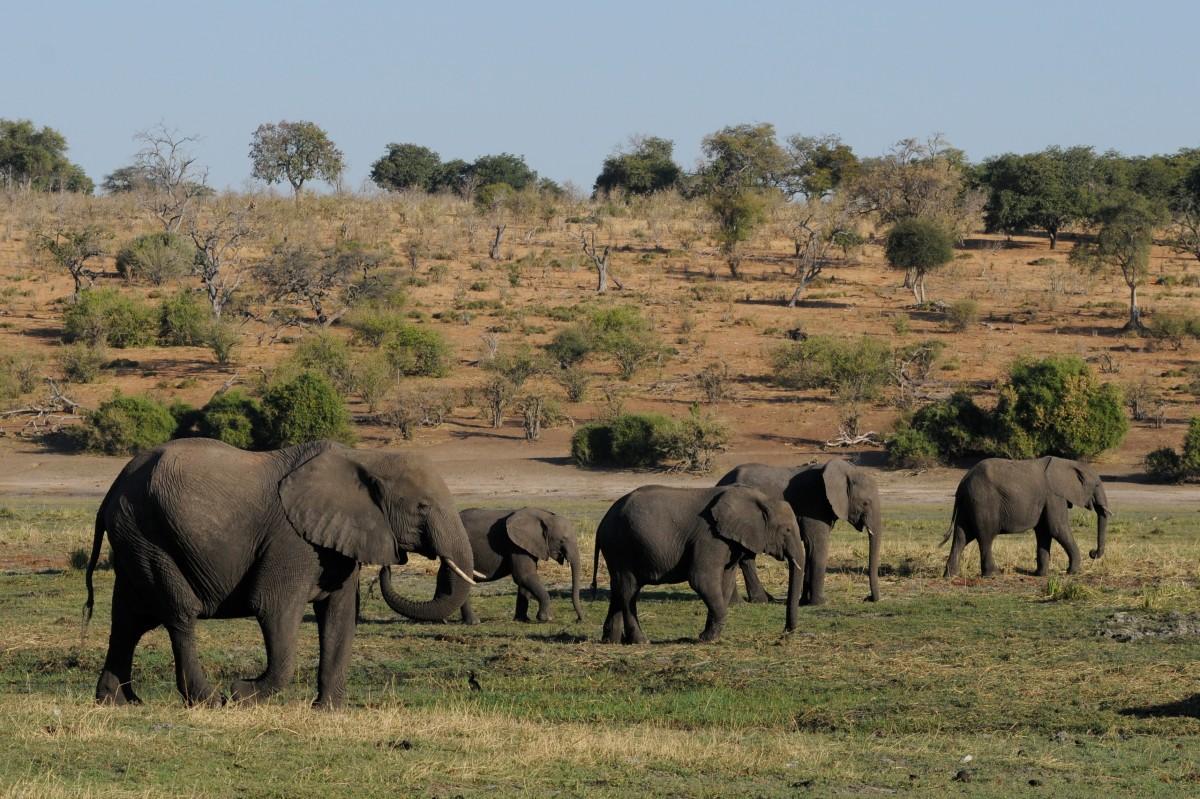 Images gratuites aventure faune troupeau p turage savane plaine l phant prairie - Photos d elephants gratuites ...