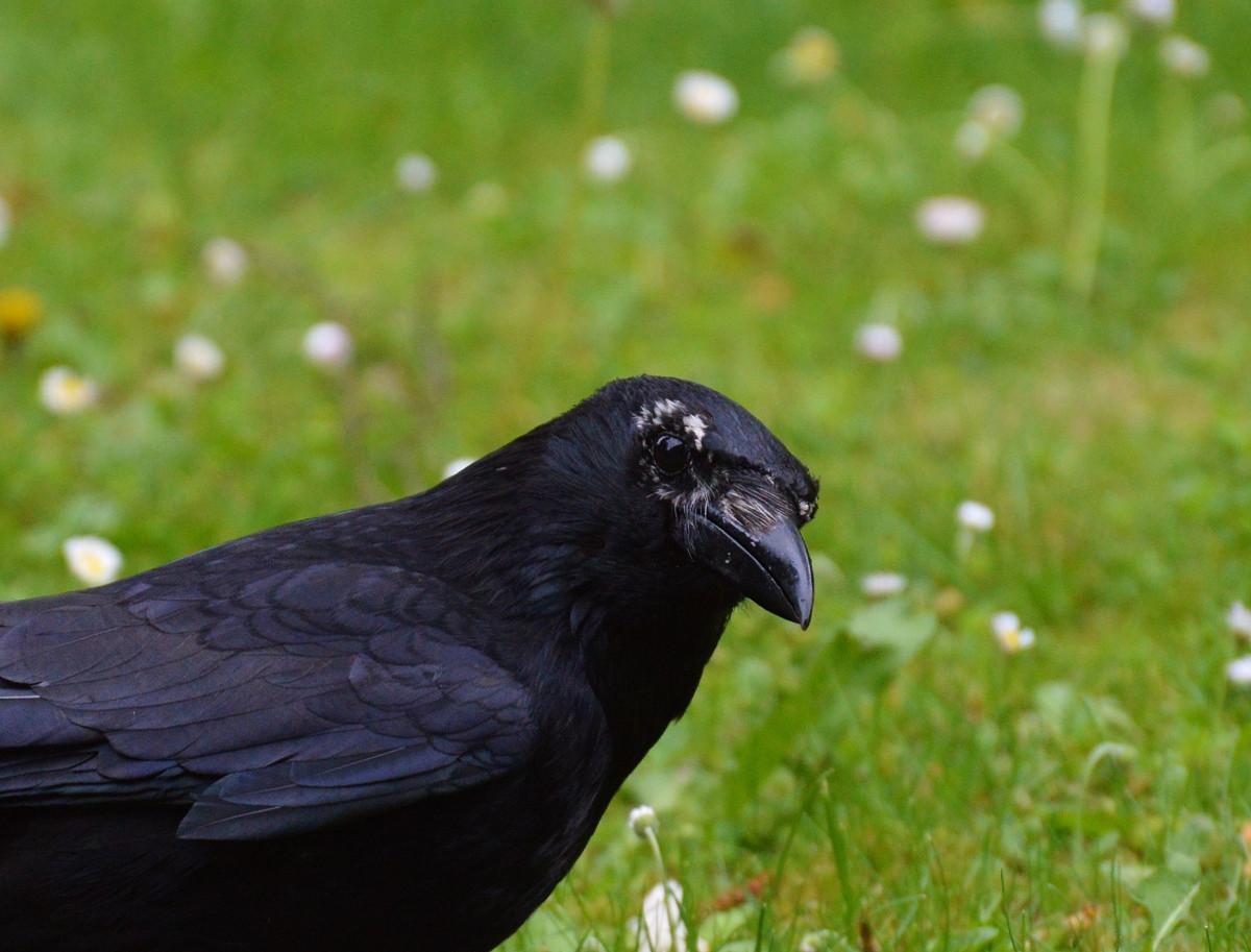 кухня картинки ворона темная уже более яркий