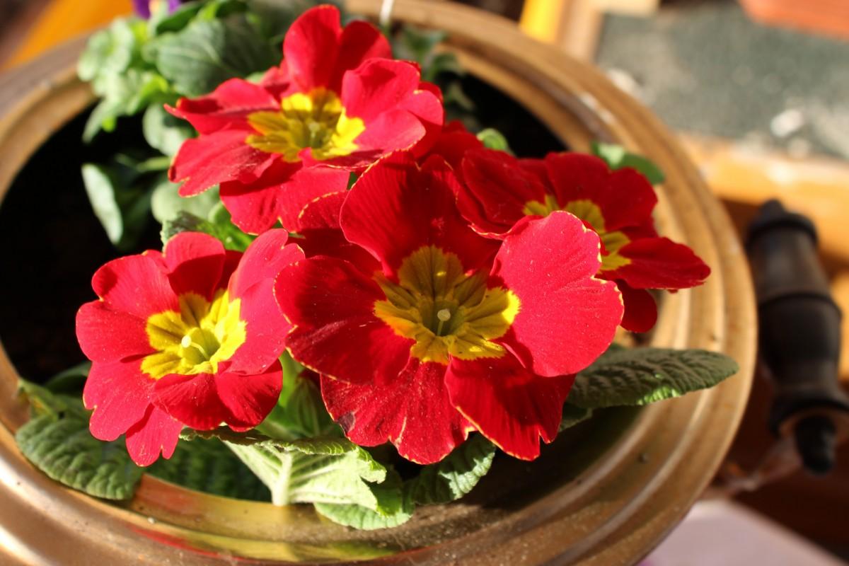 цвести, растение, цветок, лепесток, цветение, весна, Красный, Первоцвет, Флористика, Примула, цветущее растение, Цветочный дизайн, Наземный завод, Фиолетовая семья, Аранжировка цветов
