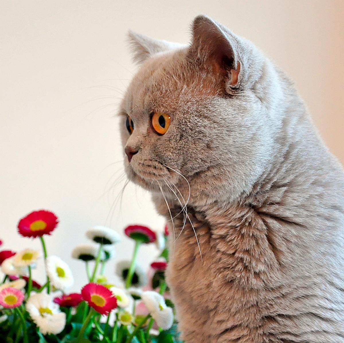 творения кот британец красивые картинки натяжением