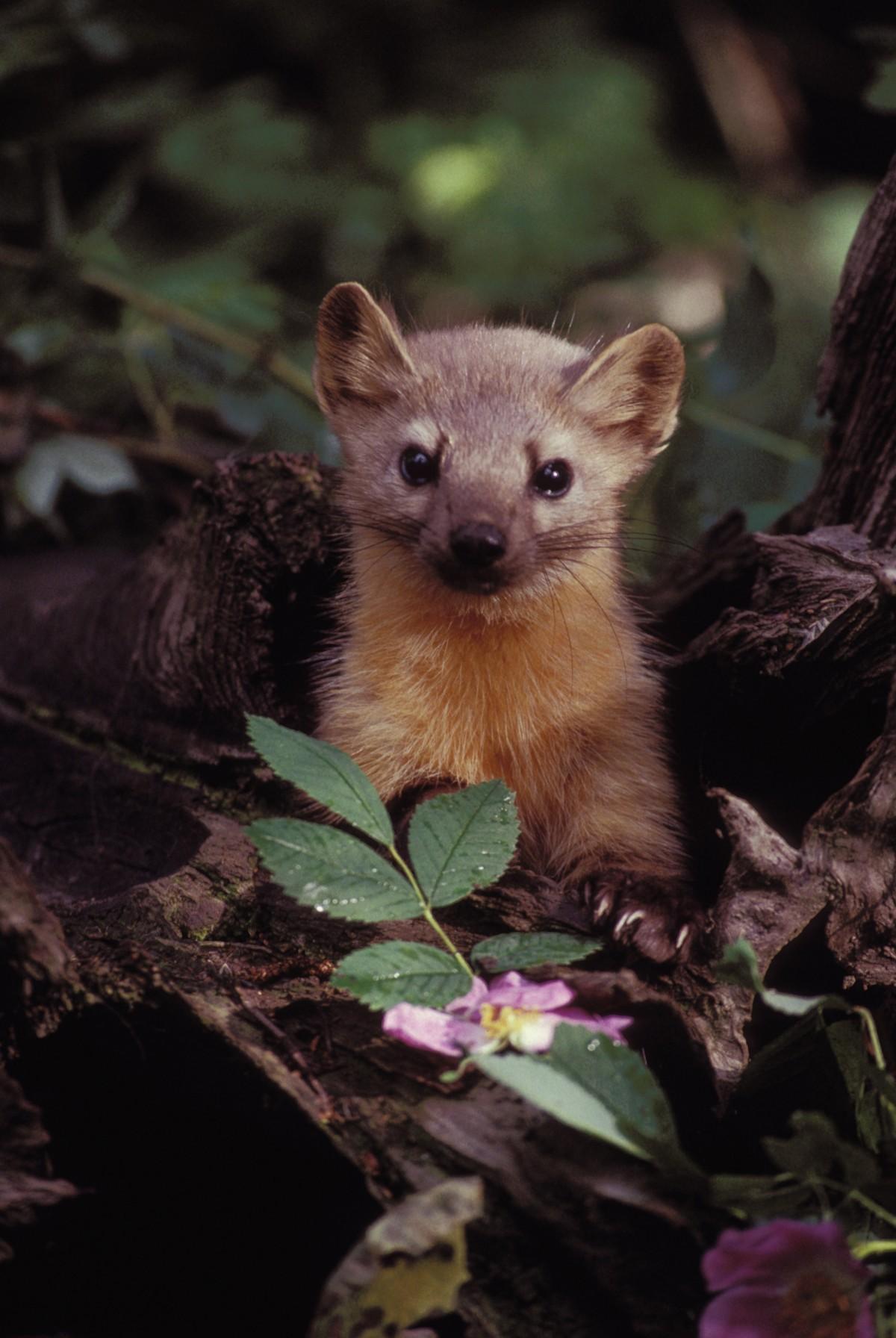 Free Images : wildlife, cat, africa, mammal, possum, fauna ...