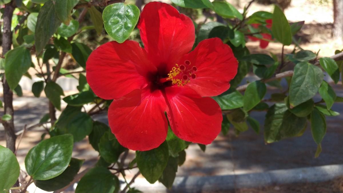 Images Gratuites Fleur Rouge Botanique Flore Arbuste Malvales