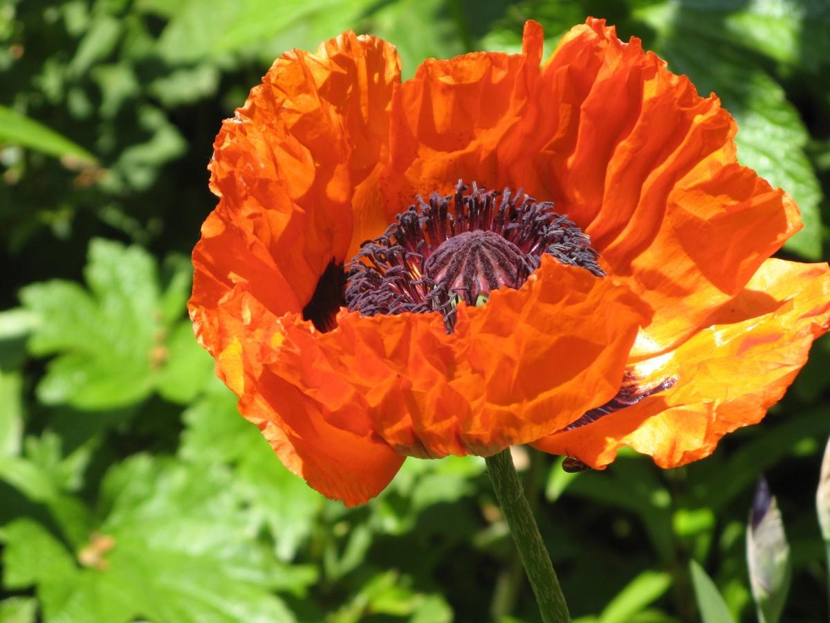 картинки цветка мак садовый домашнюю булочку или