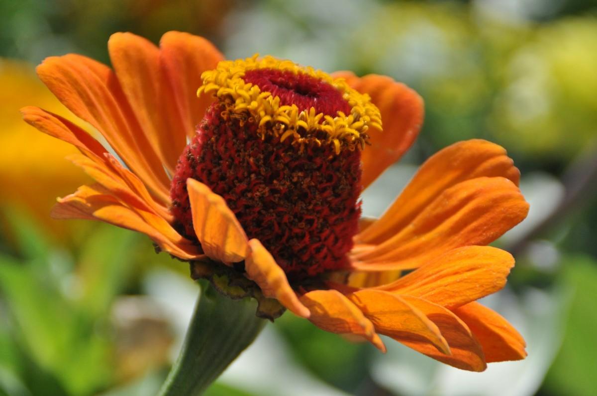 images gratuites la nature fleur p tale orange pollen herbe botanique jaune jardin. Black Bedroom Furniture Sets. Home Design Ideas