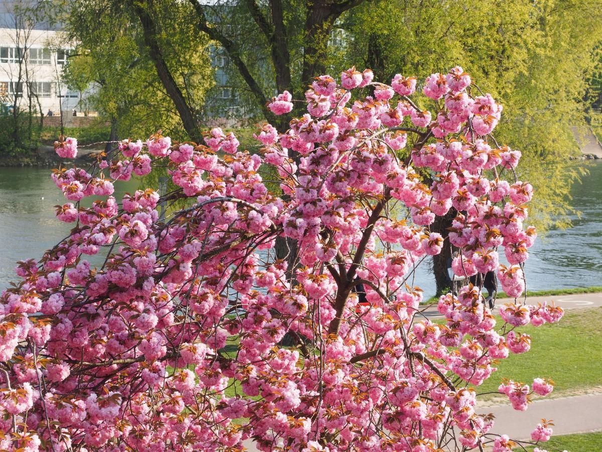 cerisier van