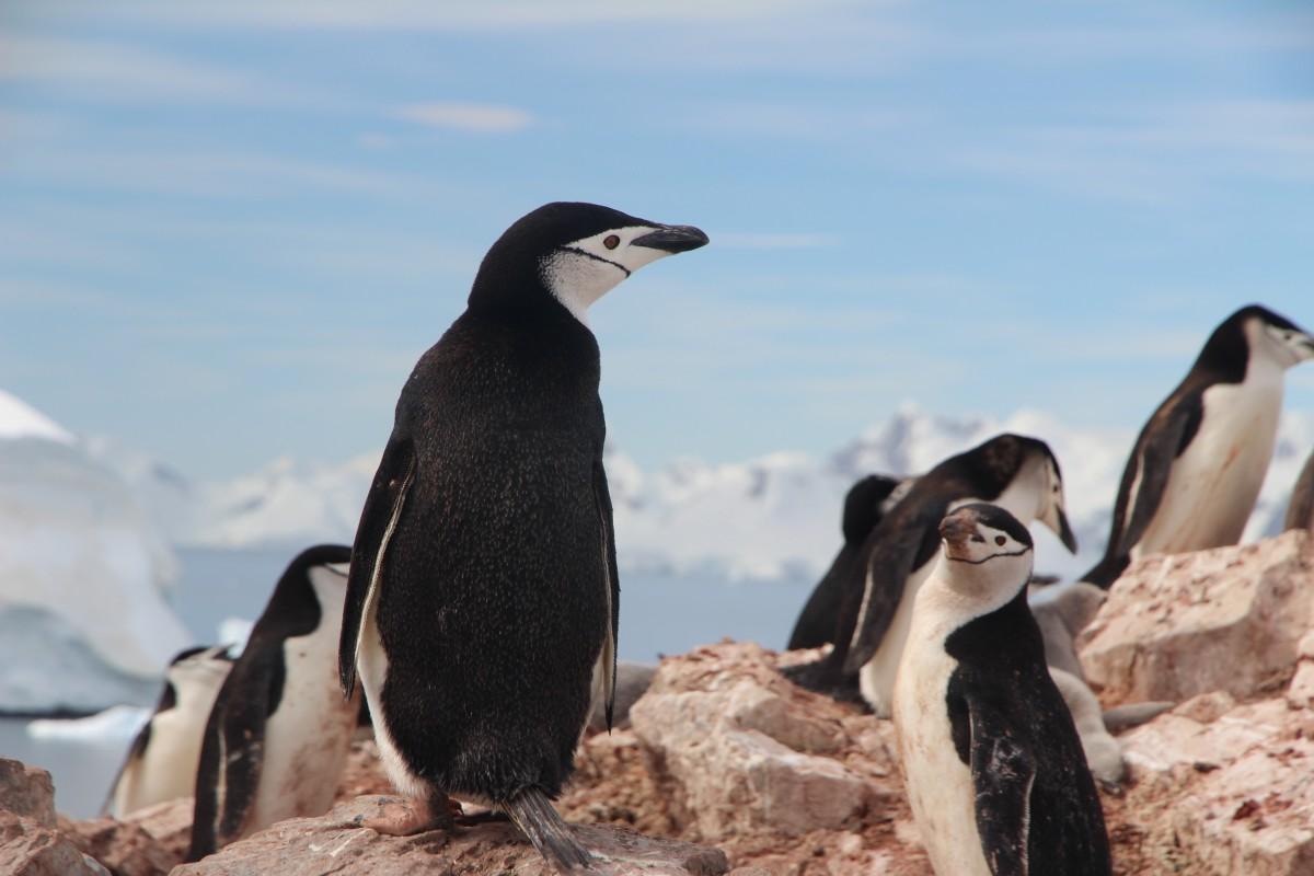 岩 鳥 海鳥 野生動物 嘴 動物相 ペンギン 水鳥 脊椎動物 飛べない鳥 キングペンギン