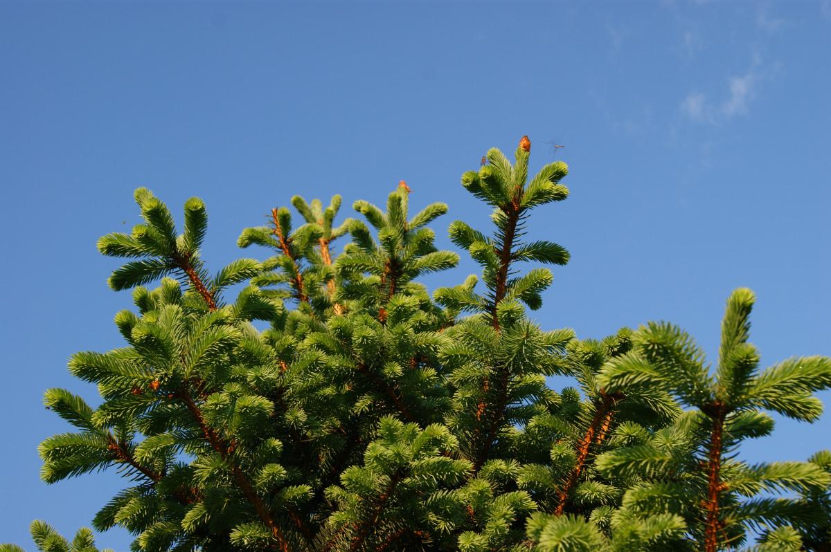 Images gratuites arbre la nature branche plante for Arbres a feuilles persistantes