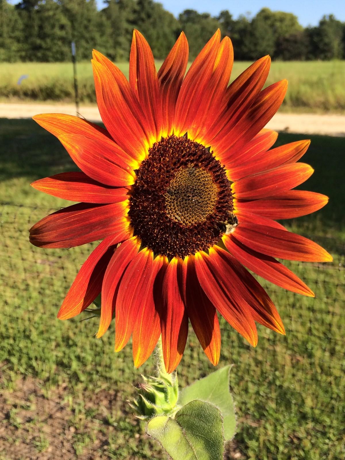 Images Gratuites : champ, fleur, pétale, été, printemps, botanique, flore, tournesol, Gerbera ...