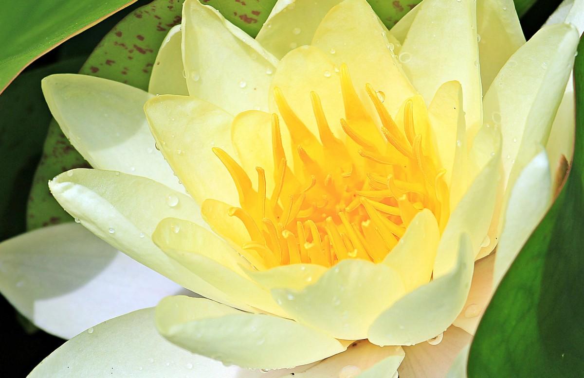Желтые цветы в воде фото