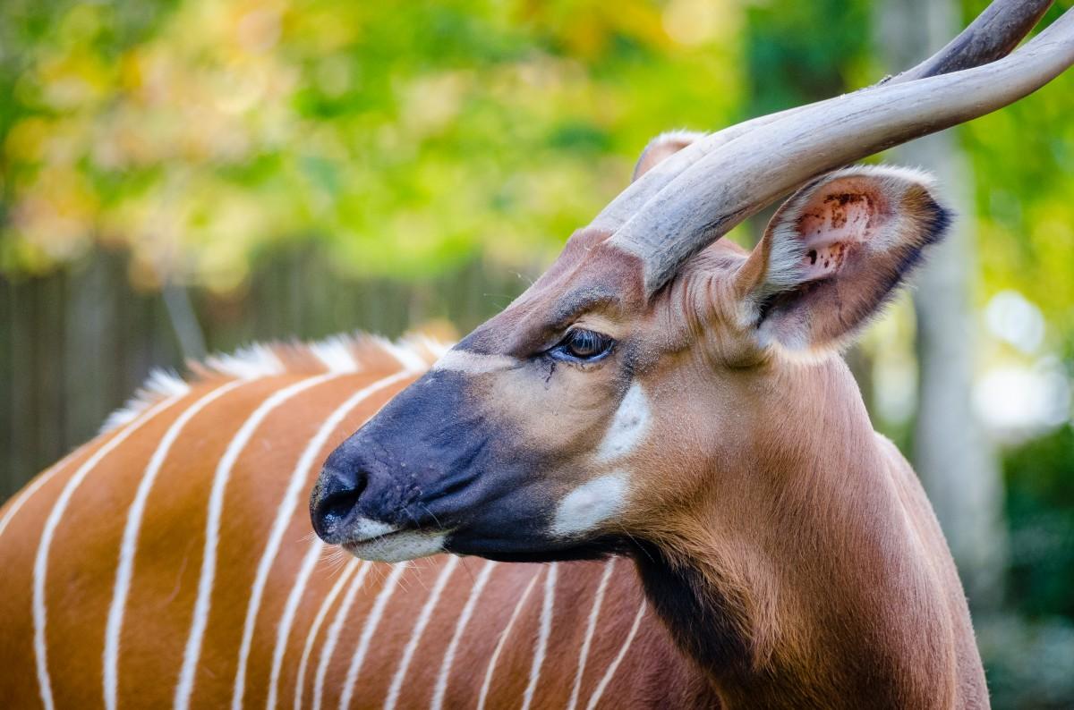 Free Images Wildlife Horn Portrait Mammal Fauna