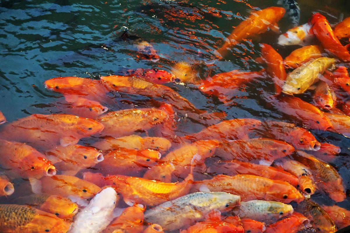 Free Images : food, fish, goldfish, koi, geological phenomenon ...