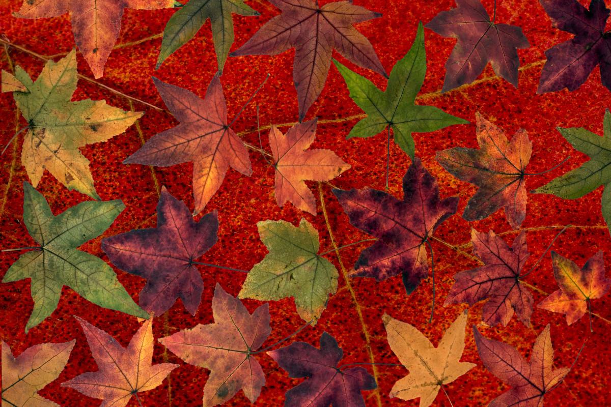 images gratuites arbre fleur sec feuillage rouge l 39 automne color saison rable. Black Bedroom Furniture Sets. Home Design Ideas