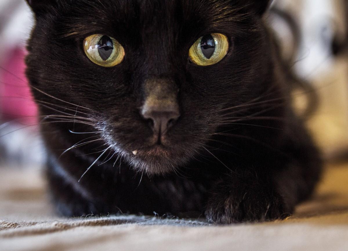 Veľká čierna mačička