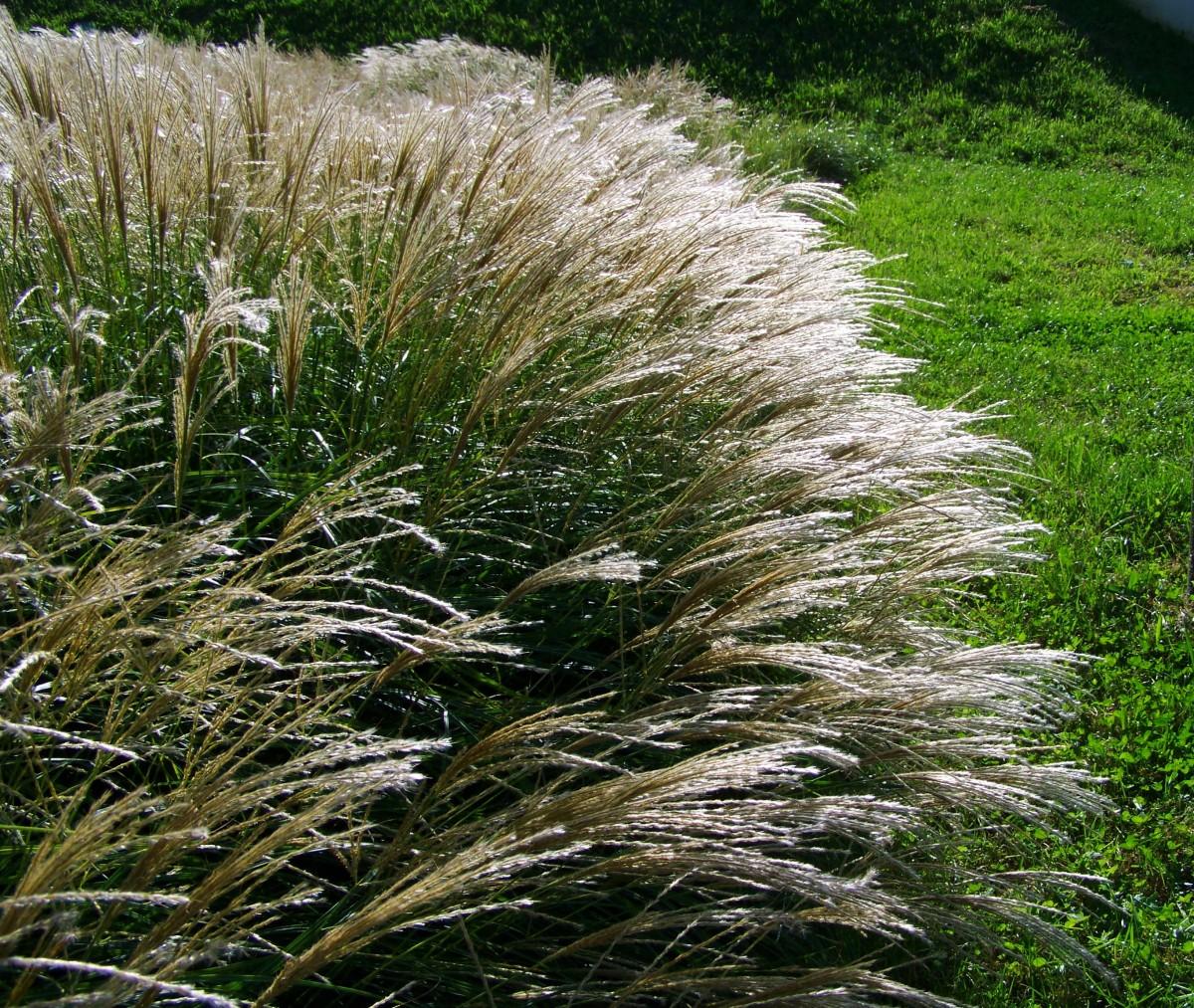 Картинки декоративной травы
