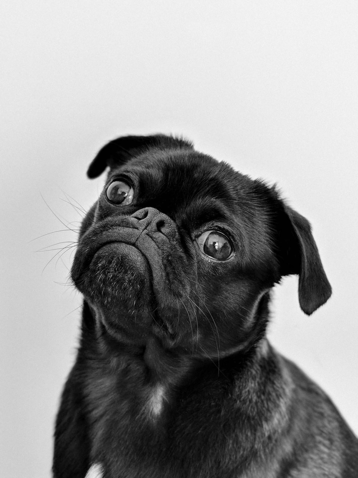 Images Gratuites : carlin, race de chien, Canidés ...
