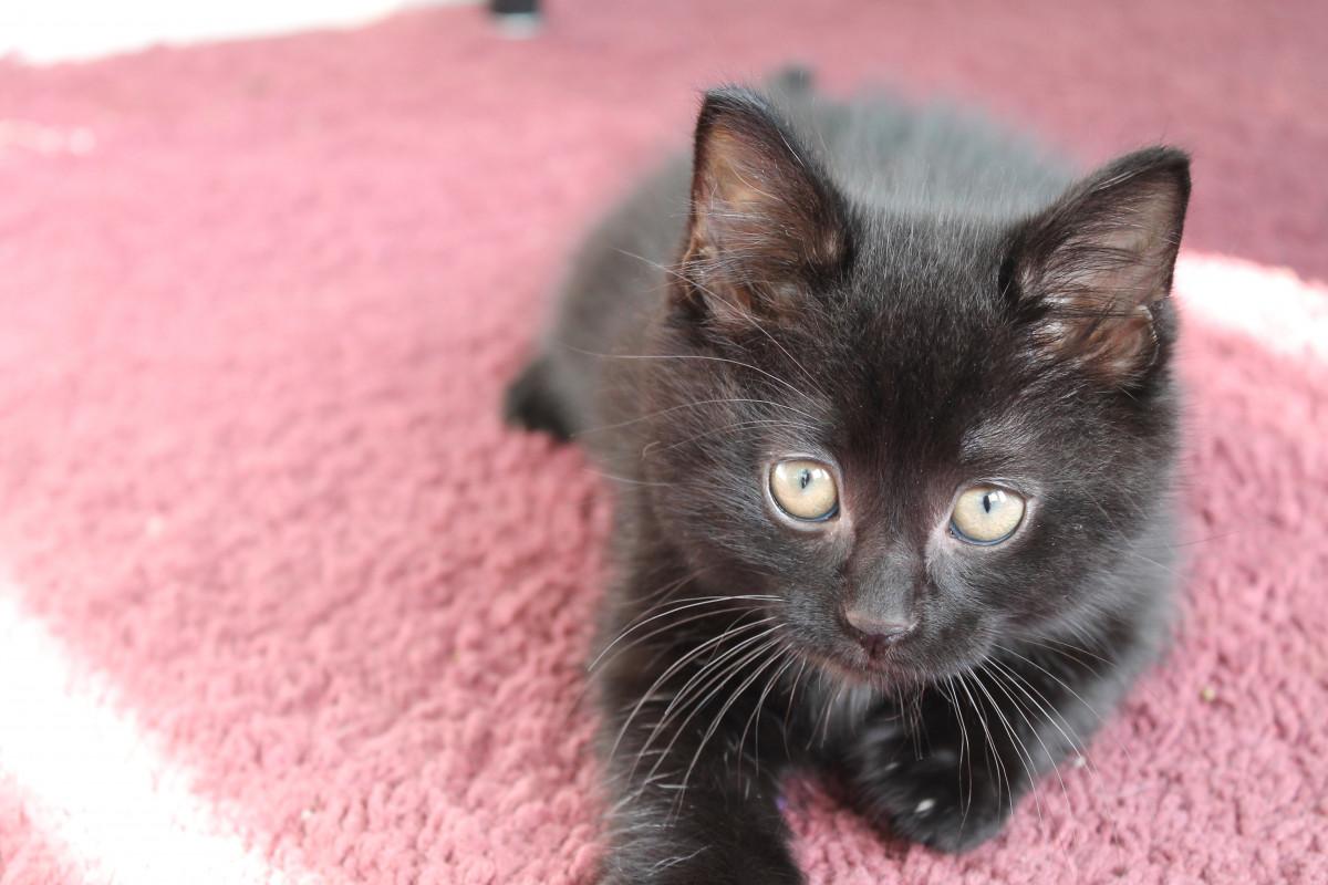 Free Images Road Pet Kitten Black Cat Fauna