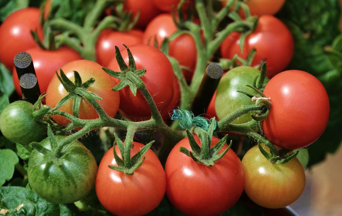 растение, фрукты, Пища, Красный, производить, Овощной, Рынок, вкусно, помидор, Стоять, овощи, Помидоры, цветущее растение, Solanum lycopersicum, Наземный завод, Картофель и томатный сорт