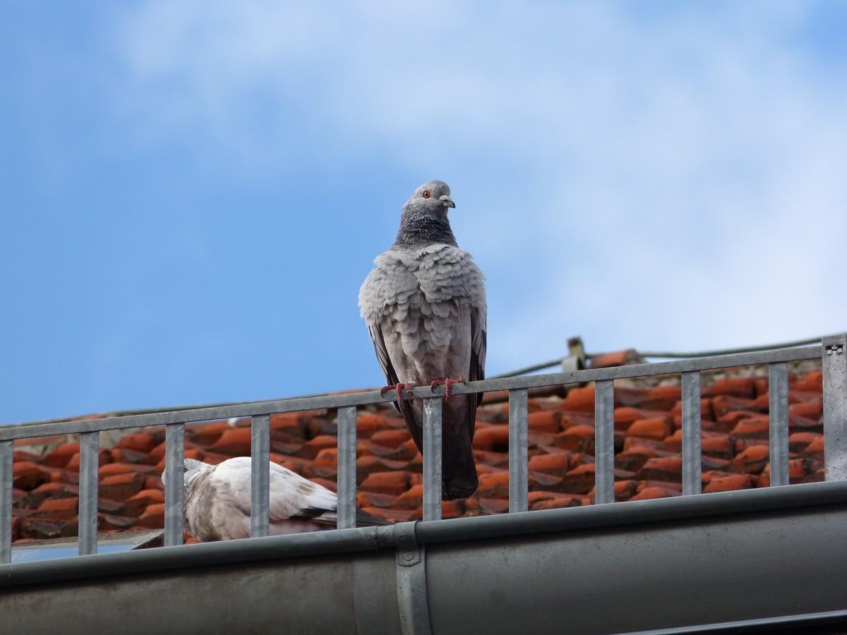 vogel hemel dak wildlife tegel blauw havik verlichting veer fauna duif gewerveld valk opgeschud duif op