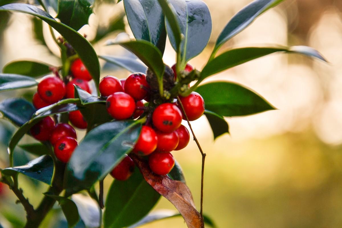 Images gratuites arbre branche fruit fleur aliments - Arbre feuille rouge fruit rouge ...