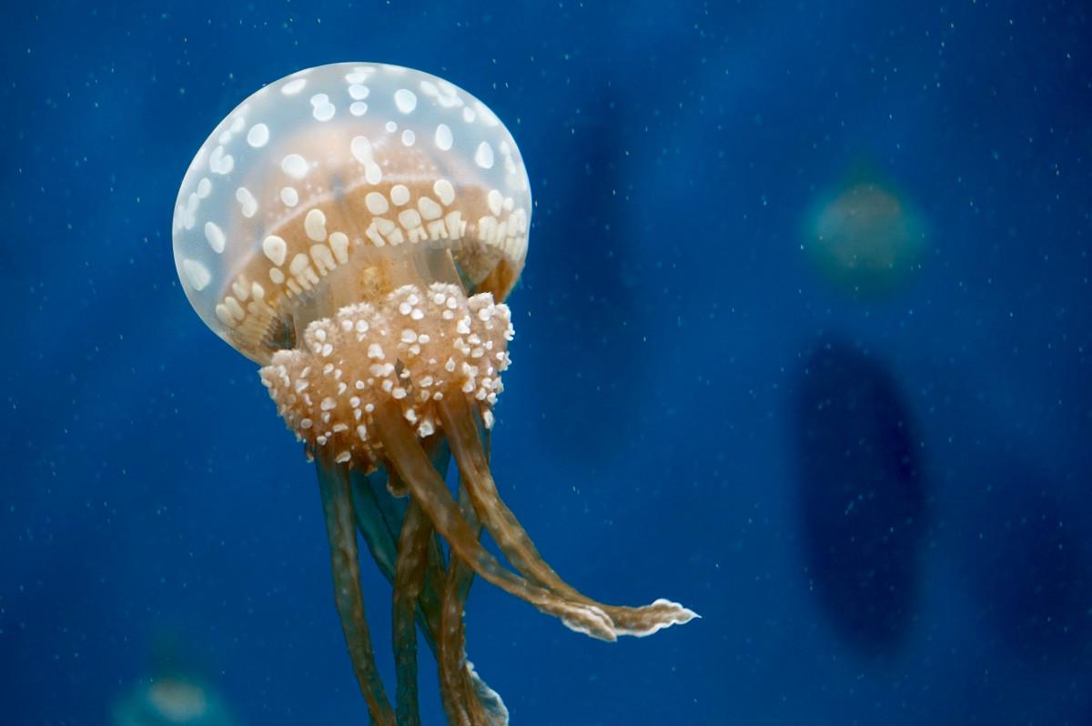 Darmowe Zdjecia Podwodny Biologia Meduza Bezkregowy Cnidaria
