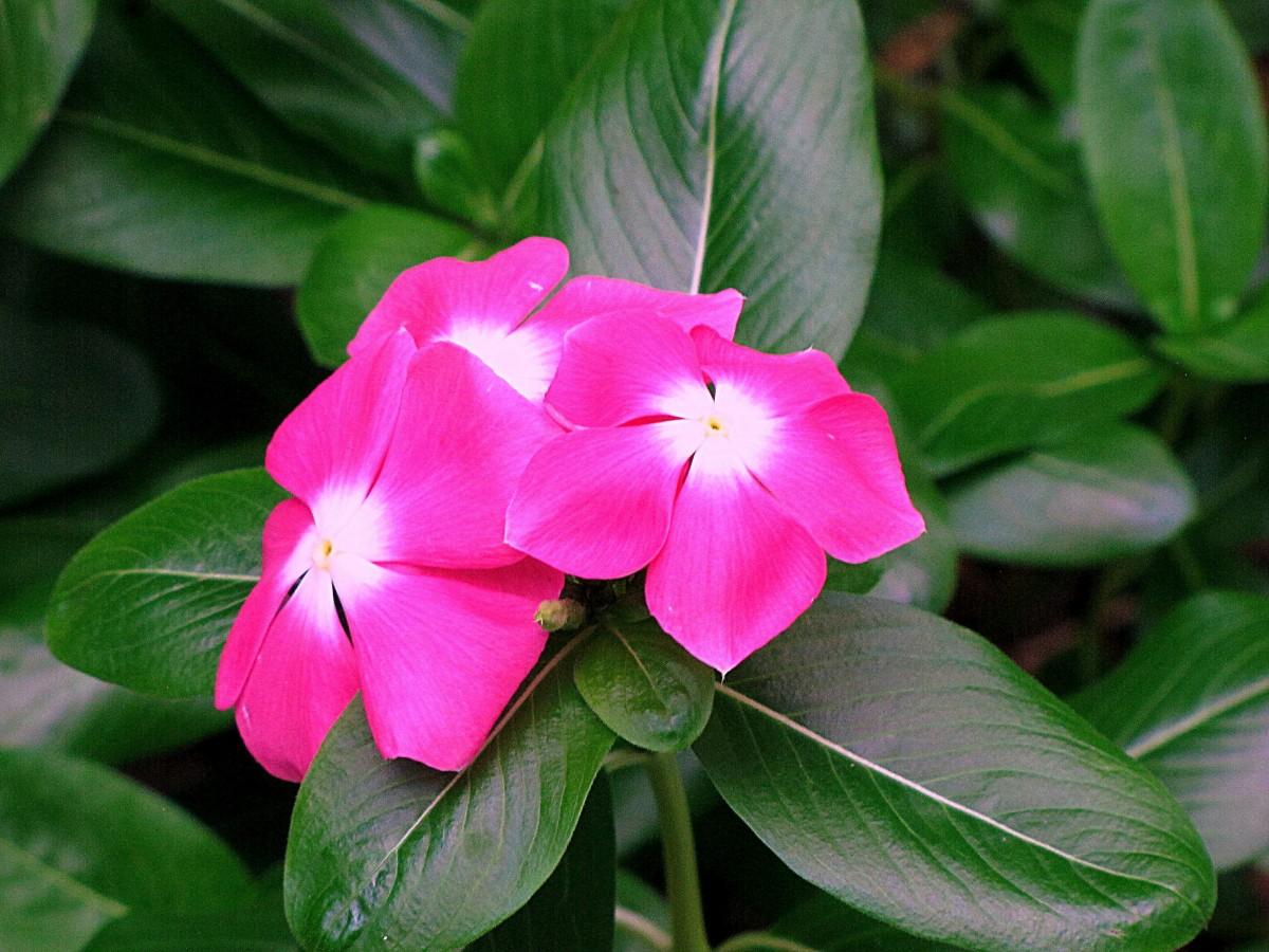 free images blossom leaf petal botany pink dharwad flora shrub periwinkle india. Black Bedroom Furniture Sets. Home Design Ideas