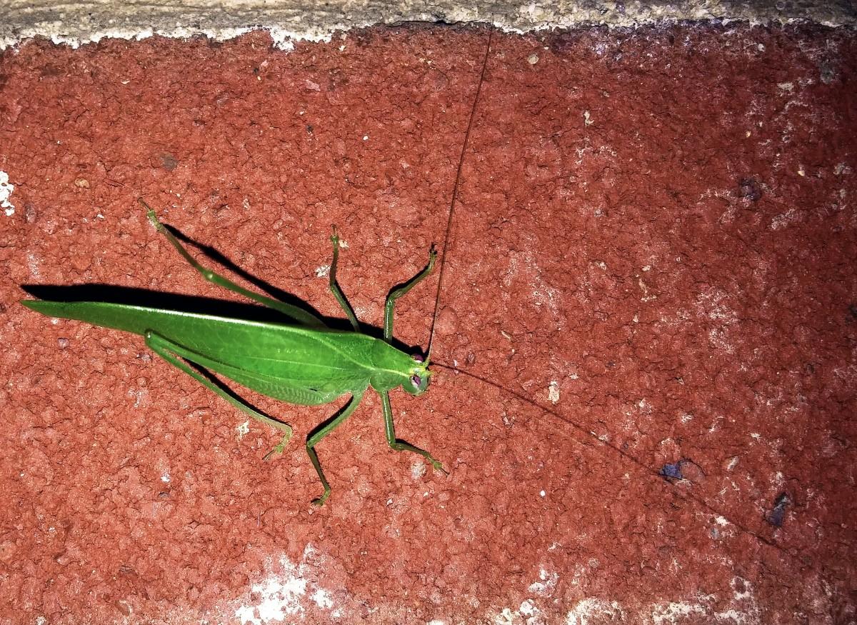 Images gratuites la nature feuille faune antenne - Insecte vert volant ...