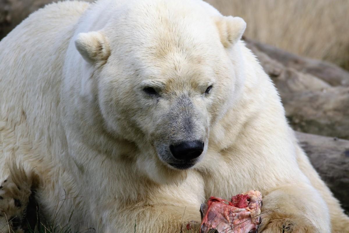 Free Images Wildlife Mammal Predator Fauna Polar