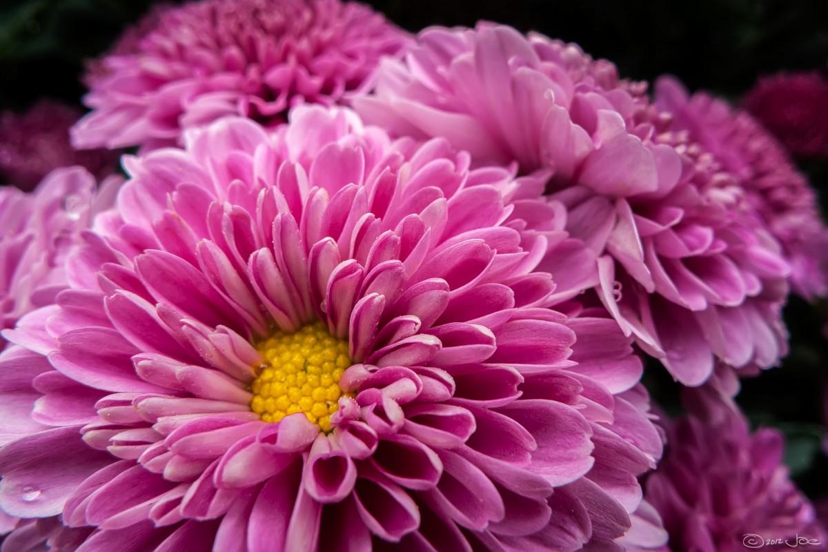 Картинки красивые хризантемы
