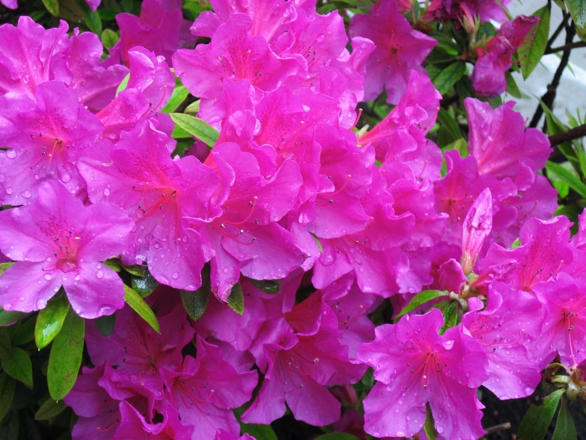 знает картинки азалии цветка делает дерева