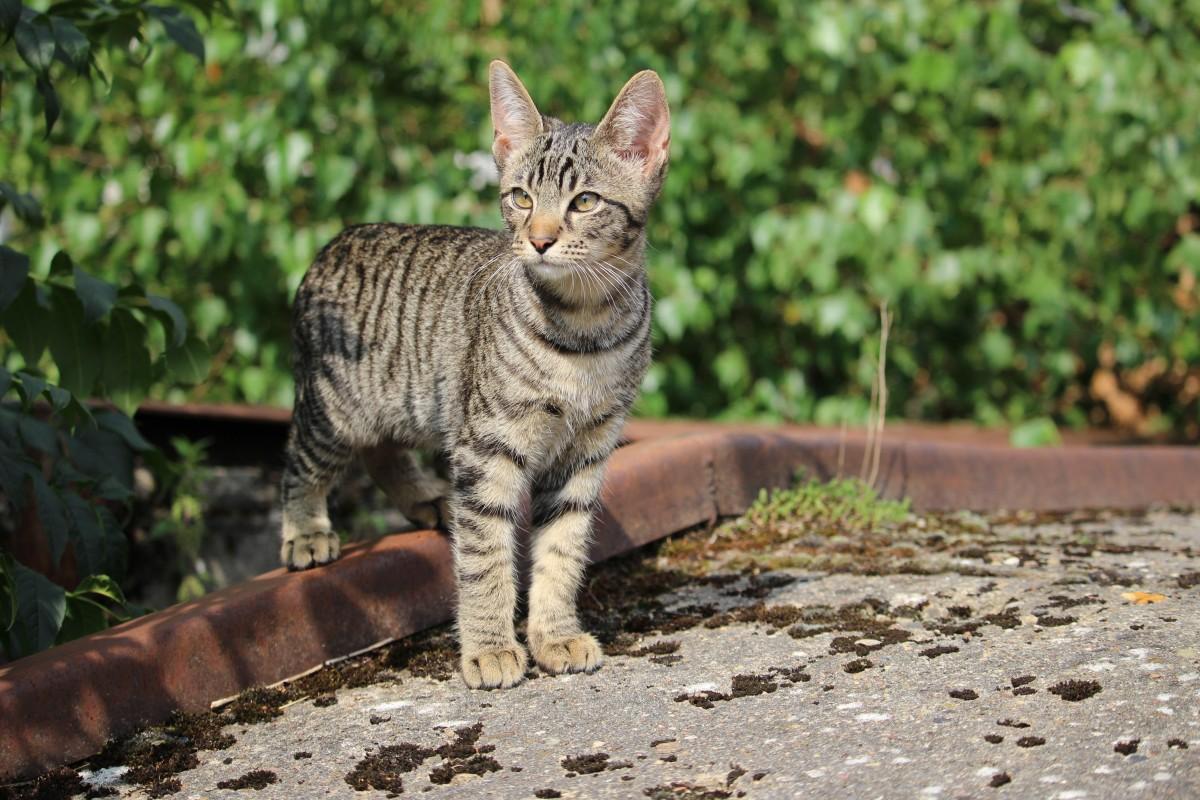wildlife, kitten, cat, mammal, fauna, vertebrate, bobcat, mackerel, tabby cat, cat baby, bengal, wild cat, small to medium sized cats, cat like mammal