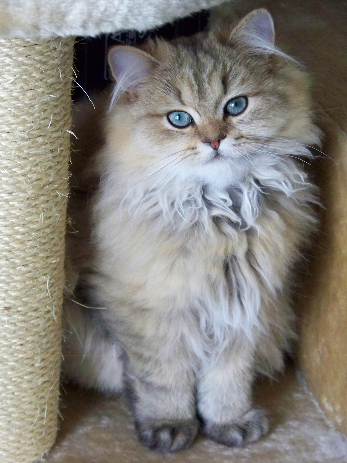 Free kitten fauna whiskers vertebrate siberian