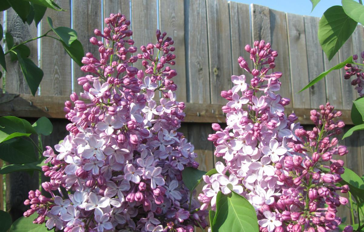 Free Images Flower Botany Closeup Pink Purple Flowers Shrub