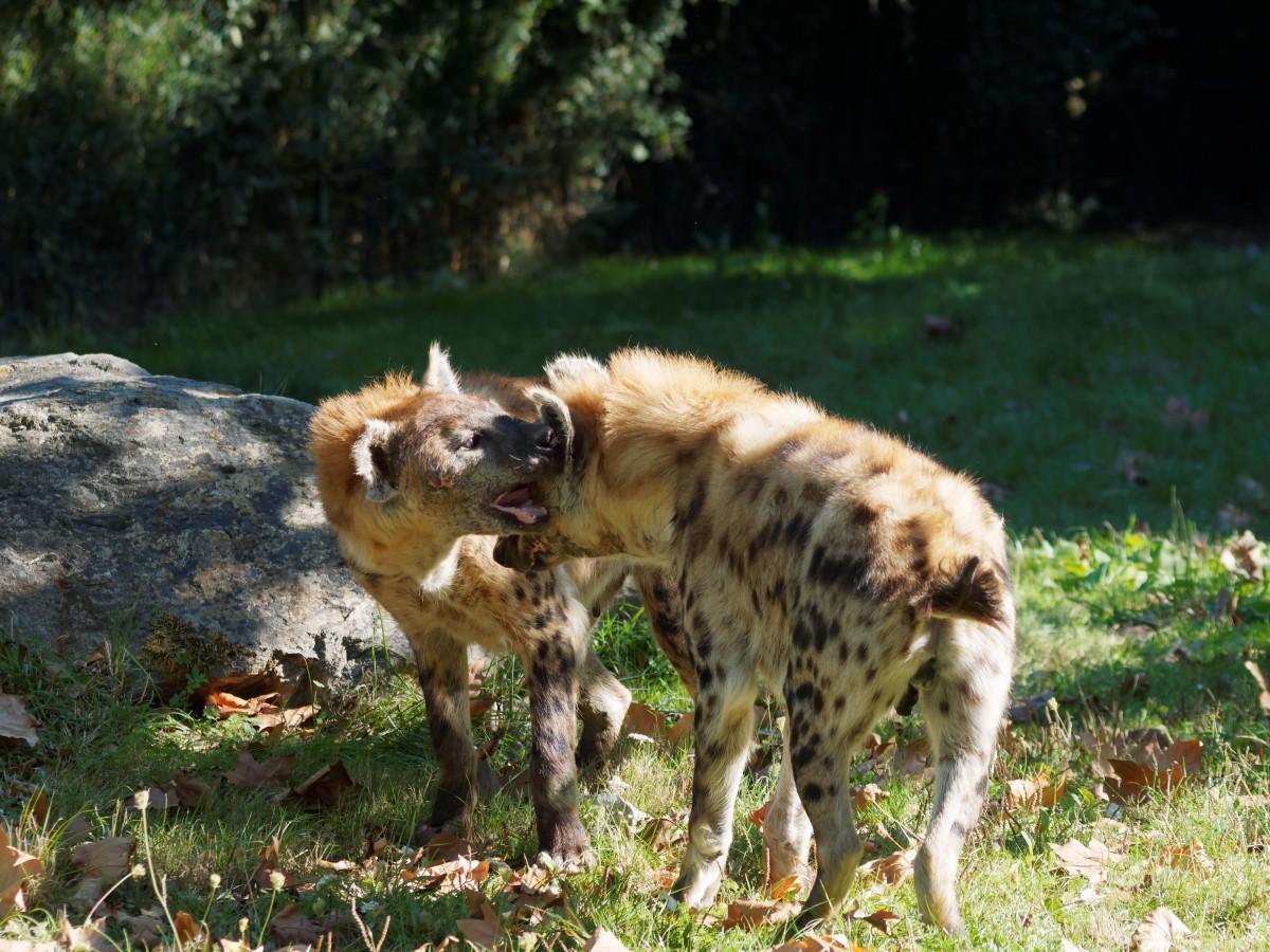 Images gratuites animal faune afrique savane - Images d animaux sauvages gratuites ...