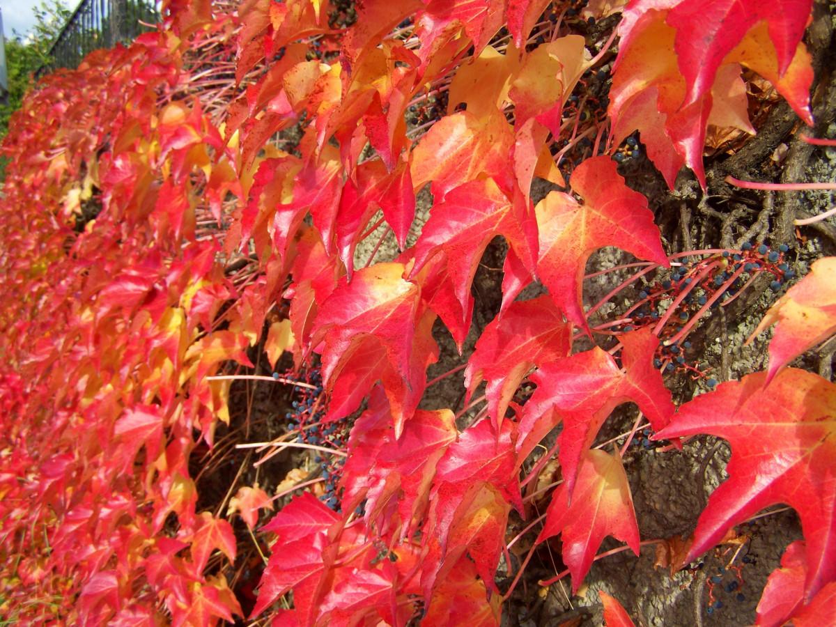 Images gratuites arbre fleur rouge l 39 automne botanique flore saison feuille d 39 rable for Comarbuste a feuille rouge