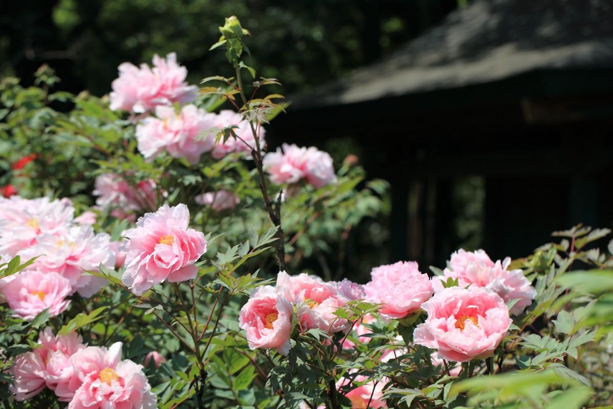 Images gratuites arbre fleur botanique flore arbuste - Plante a fleurs roses ...