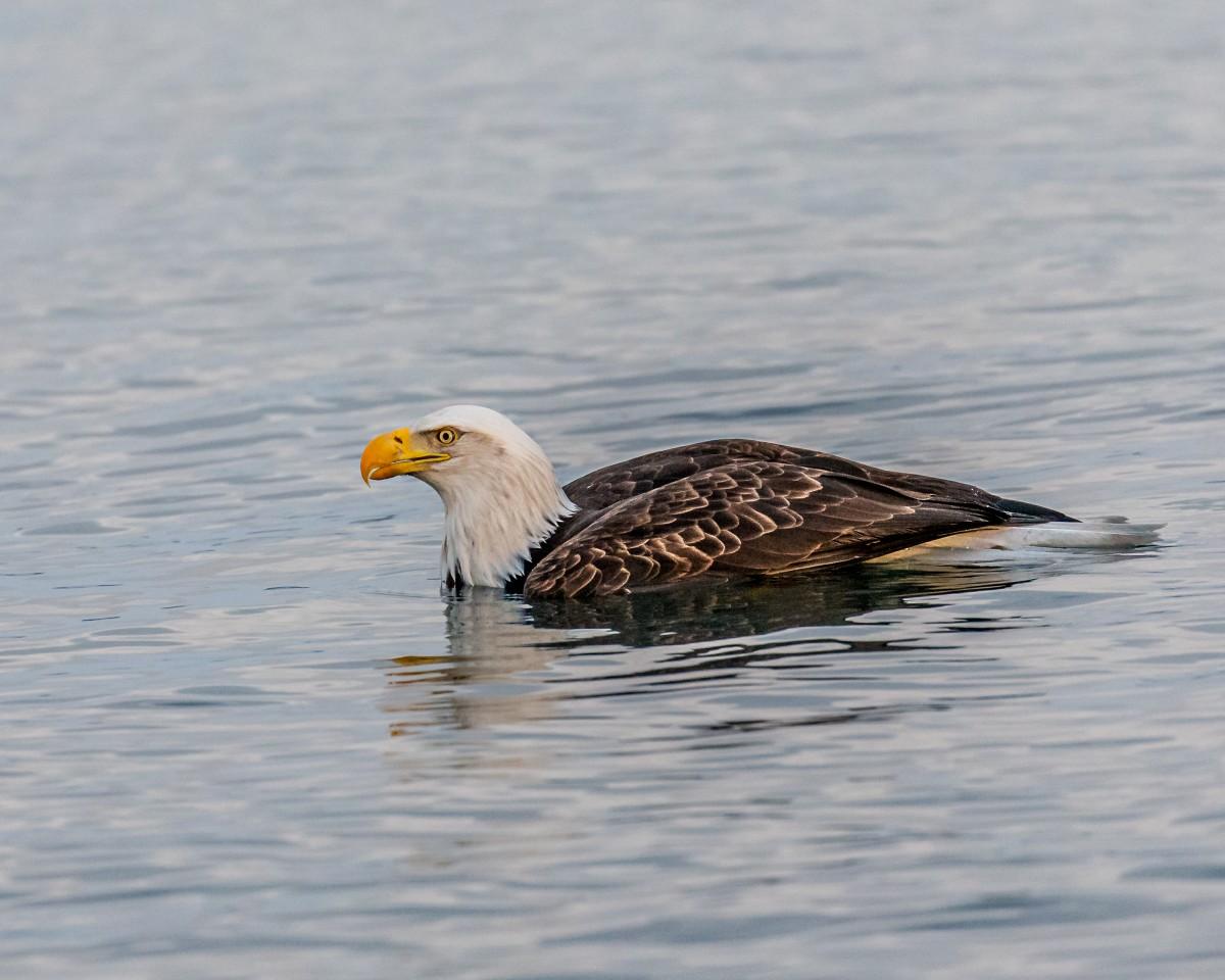 Мужчина снял на видео плывущего орла баттерфляй, белоголовый орлан, видео, животные, птицы, сша