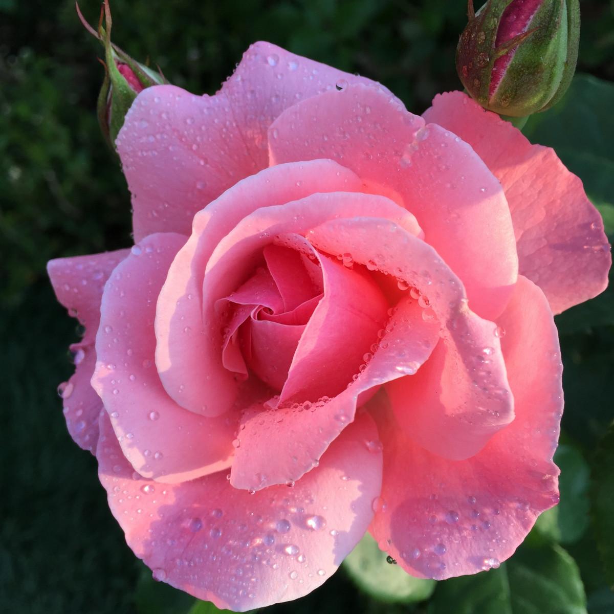 Цветы фото роза одна цвела