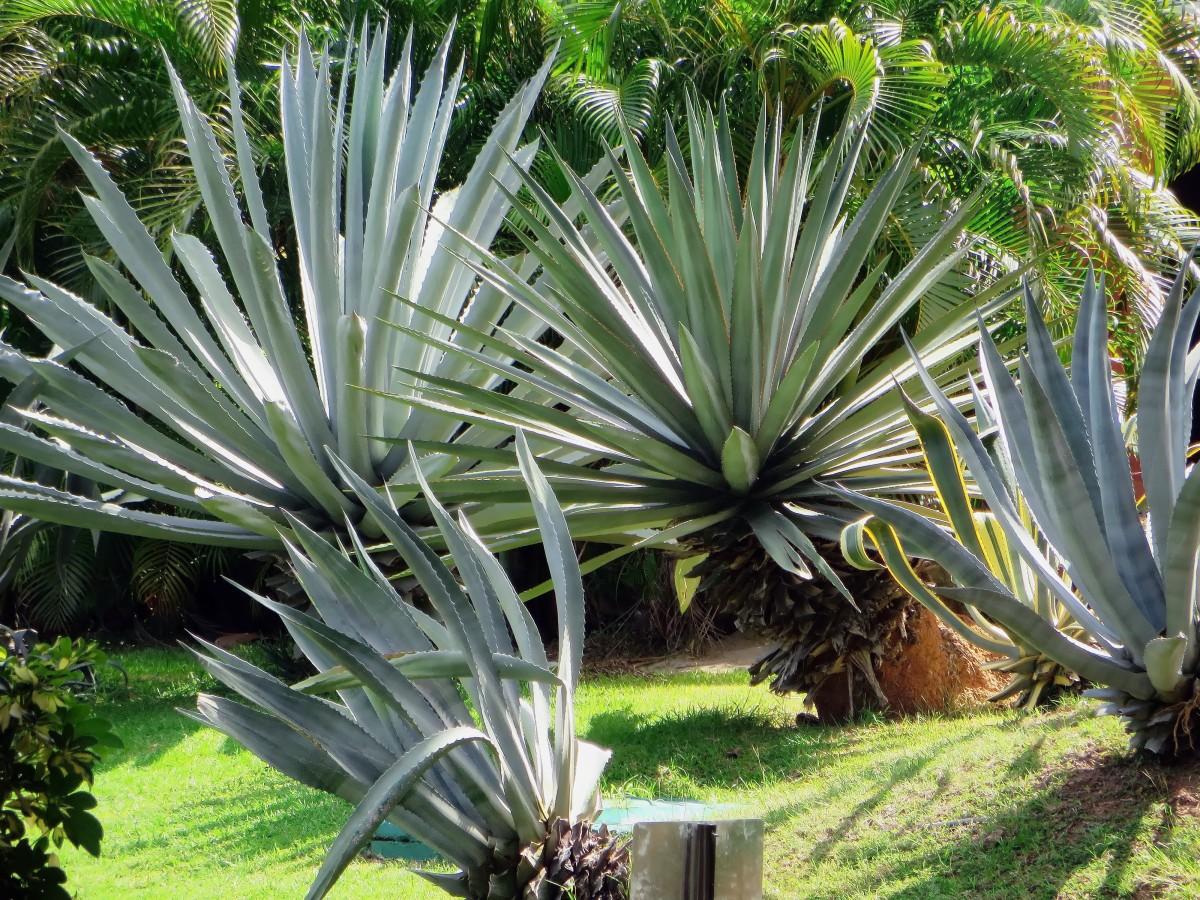 images gratuites arbre fleur pimenter produire botanique jardin exotique agave la. Black Bedroom Furniture Sets. Home Design Ideas