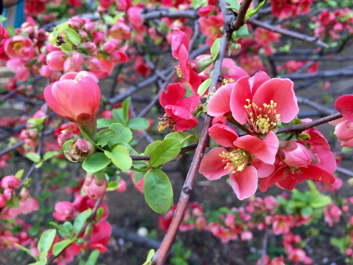 Кустарник цветет розовыми цветами