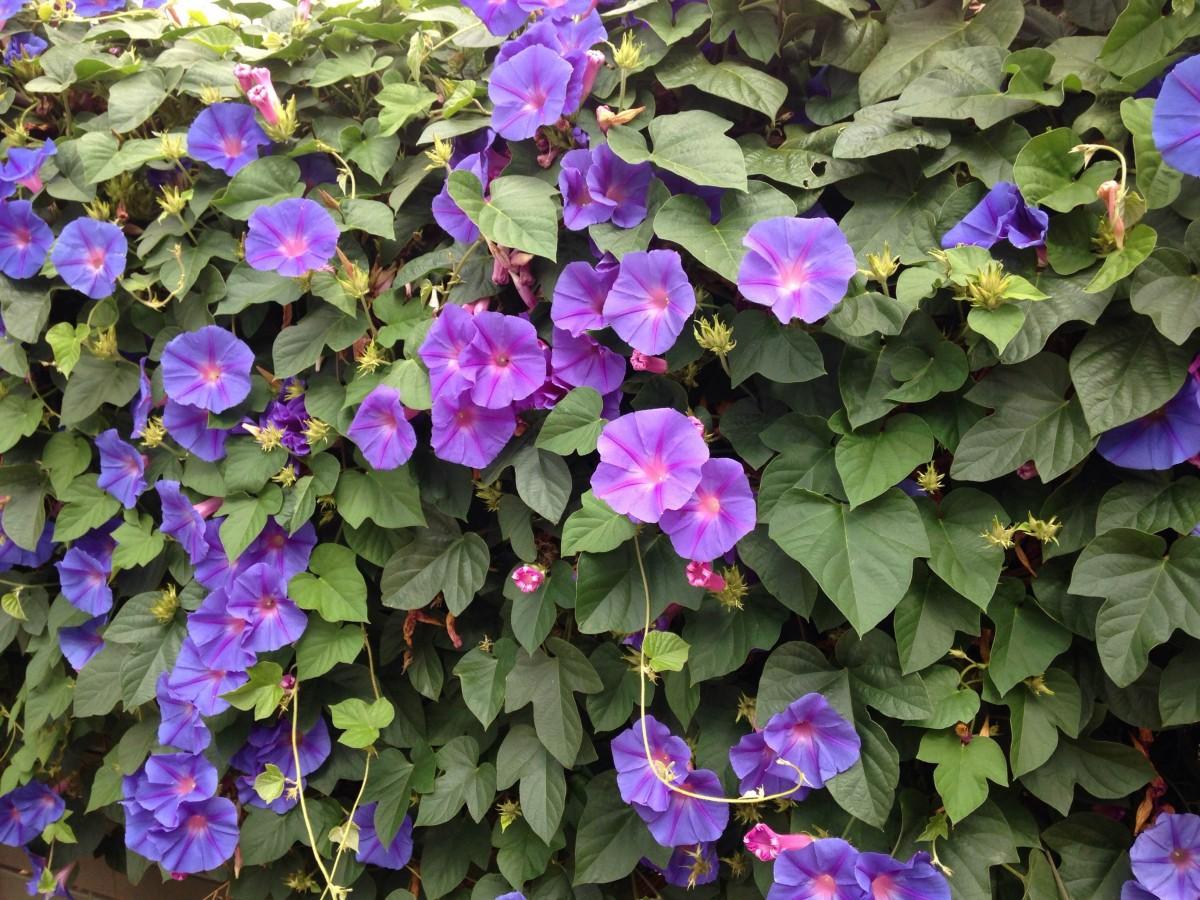 Fotos gratis naturaleza flor primavera verde flora flores moradas enredadera jard n de - Plantas enredaderas de crecimiento rapido ...