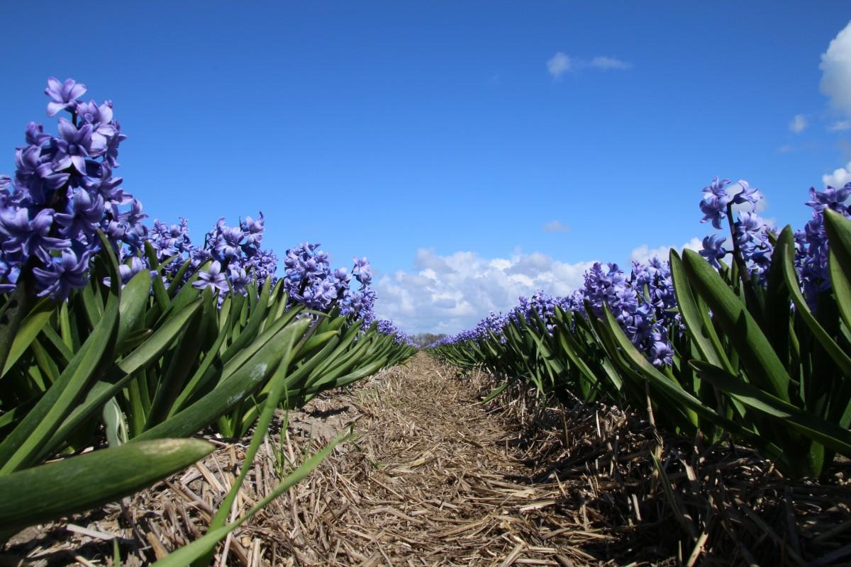 Images gratuites paysage la nature herbe champ prairie floraison botanique jardin - Floraison de la lavande ...