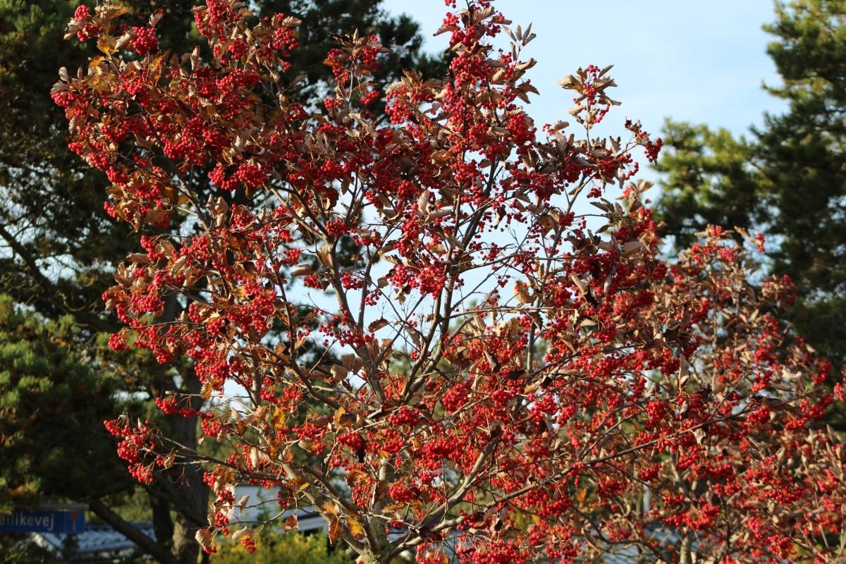 kostenlose foto baum natur ast bl hen blatt blume rot produzieren farbe herbst flora. Black Bedroom Furniture Sets. Home Design Ideas