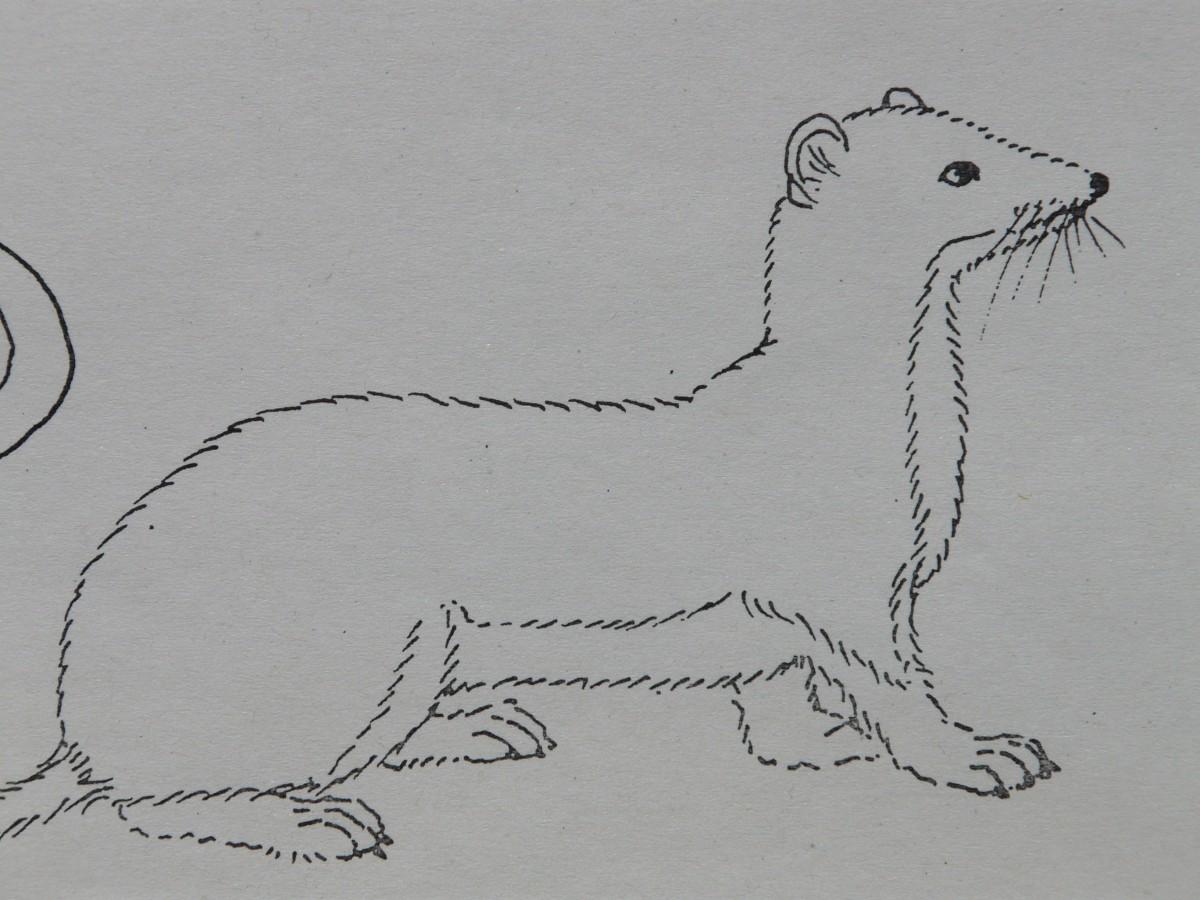 Gambar Hewan Cat Sketsa Gambar Seri Membayangkan