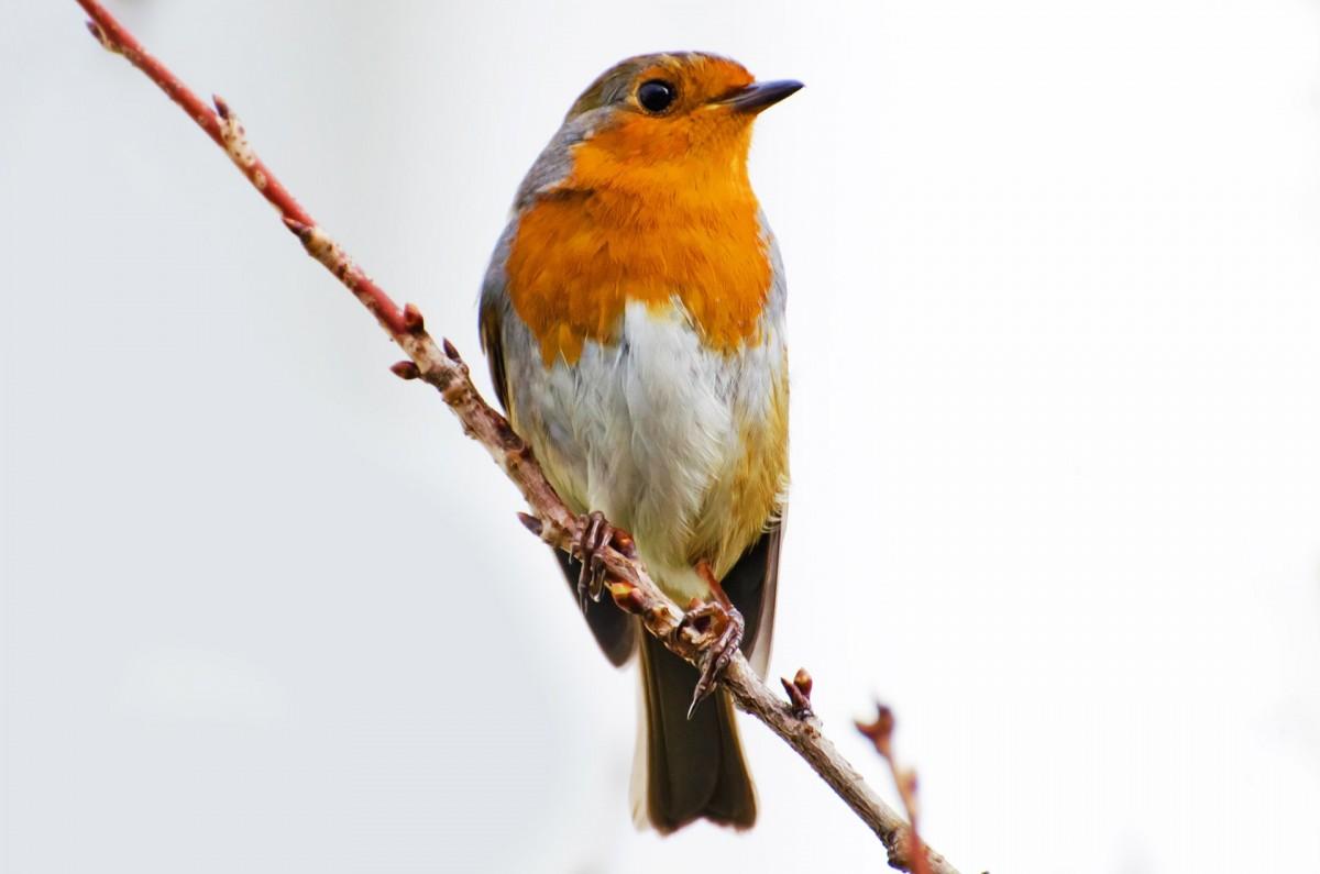 картинки птицы робина присутствию кадре