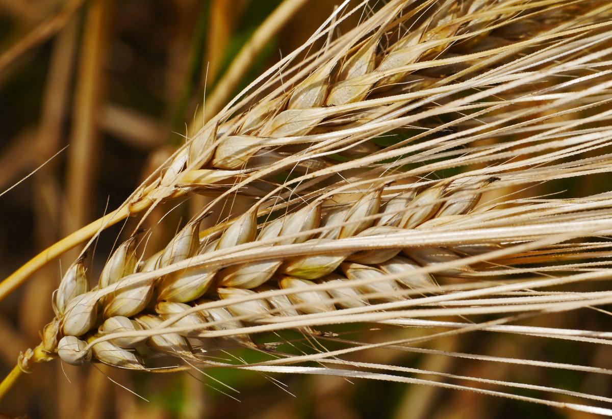 free images   barley  produce  crop  botany  ear