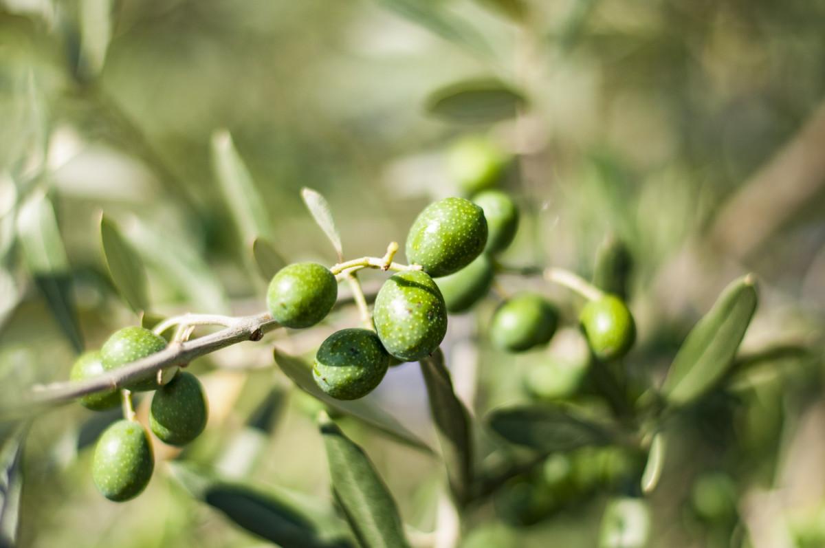 arbre branche fleur plante fruit feuille fleur aliments vert méditerranéen produire à feuilles persistantes botanique jardin flore fermer arbuste Olives olive Macrophotographie Olivier oliveraie plante à fleurs branche d'olivier Plante terrestre