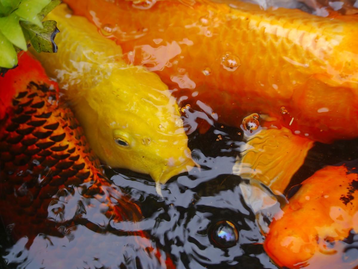 Fotos gratis agua estanque naranja dorado escala for Comida peces estanque