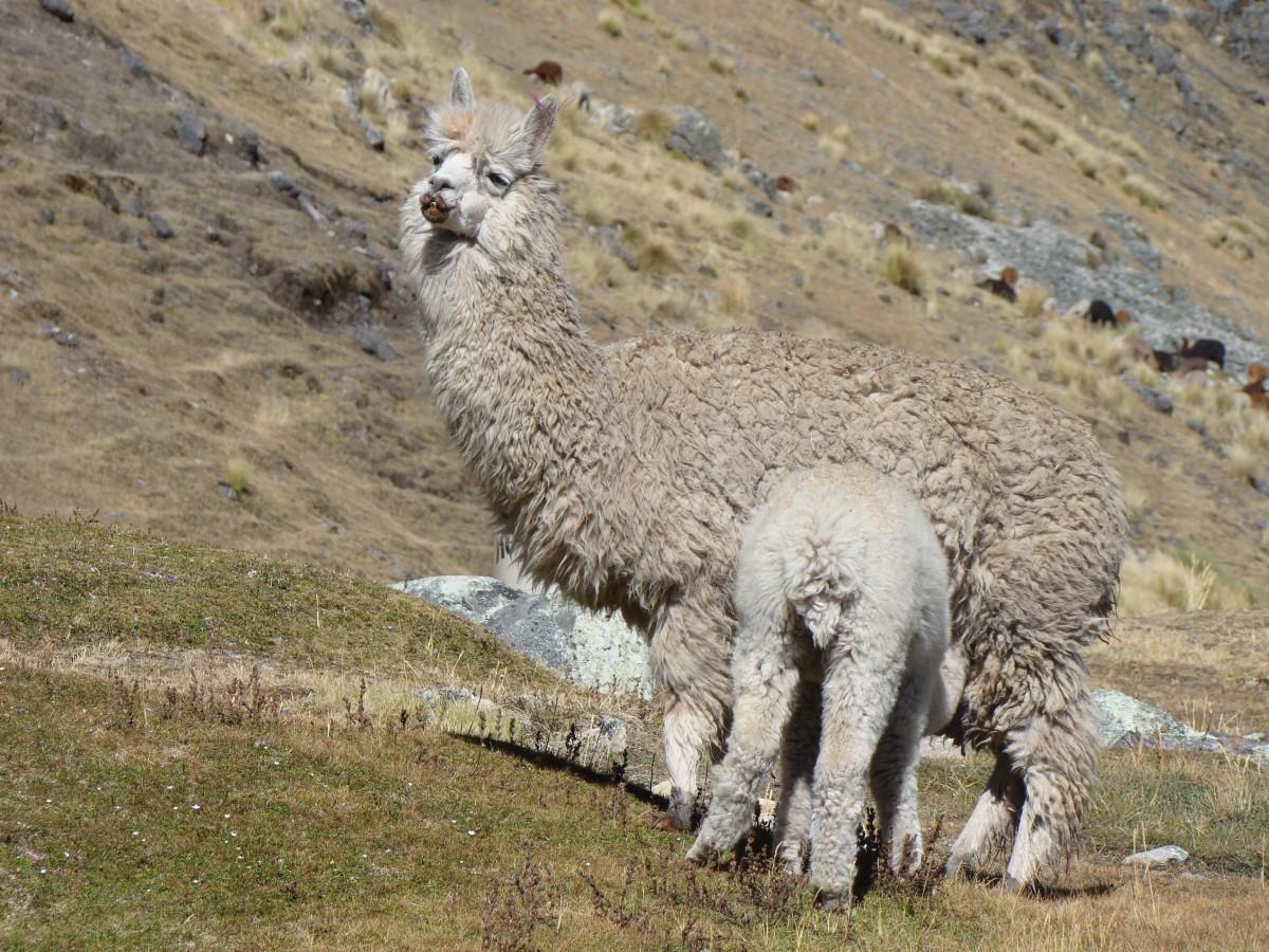 free images   nature  mountain  animal  wildlife  zoo  america  baby  fauna  peru  llama  alpaca