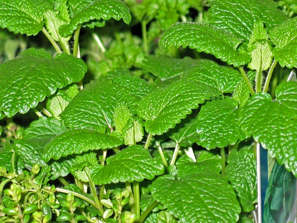 Images gratuites th feuille fleur vert herbe for Plante 9 feuilles